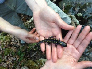 A Yellow-spotted Salamander